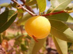 # Olhares do Cerrado - Cagaiteira ou Cagaita(Eugenia dysenterica DC, Myrtaceae) fruta típica do Cerrado/ Cerrado Mineiro - Região do Morro da Garça - MG