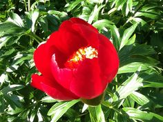 Paeonia officinalis, grown from seed