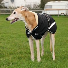 181 Best Greyhound Images Grey Hound Dog Dogs Italian Greyhound