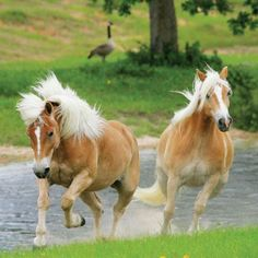 http://www.thoughtscards.com/shane-and-murphy-haflinger-horses-ar130.ir?cName=cards-blank-friendship-cards