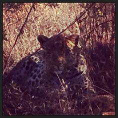 Leopard in Pilanesberg National Park.  Love living in South Africa!