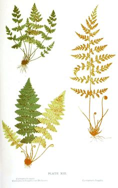 Botanical - Leaf - Fern, British Fern   (12)