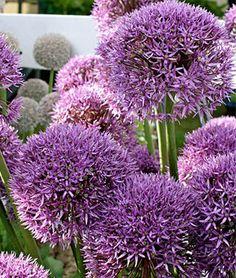 Allium, Round and Purple, , large