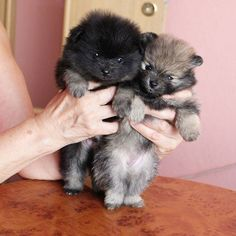 Baby pommies