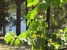 We love the view of the lake from the vineyard! http://www.napaandbordeaux.com