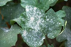 Get Rid of Powdery Mildew on Plants.  I applied it this morning.  We'll see how it works.