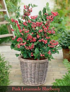 The Pink Lemonade Blueberry, along with these other blueberry varieties, are easy to grow right at home! Family Garden, Home And Garden, Pink Lemonade Blueberry, Blueberry Varieties, Blueberry Plant, English Country Gardens, Growing Plants, Garden Inspiration, Gardening Tips