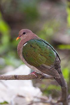 Emerald Ground-dove (Chalcophaps indica)