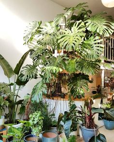 🌿💚🌿💚🌿 This 45 year old Monstera deliciosa is high and individual leaves measure Room With Plants, House Plants Decor, Plant Decor, Cool Plants, Green Plants, Tropical Plants, Plante Monstera, Monstera Deliciosa, Indoor Garden