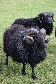 Hebridean sheep strolling across the lush green pasture. Sheep Farm, Sheep And Lamb, Baby Sheep, Farm Animals, Animals And Pets, Cute Animals, Beautiful Creatures, Animals Beautiful, Chamois