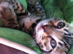 Bengal cat in nc