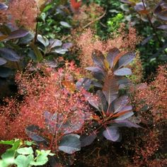 Wow - we love this.  'Grace'  Smokebush