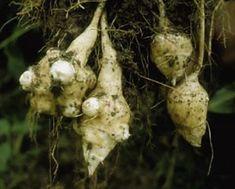 Meinattiin äitin kanssa ryhtyä tulevana kesänä luomuviljelijöiksi :) Maa-artisokkia vois kokeilla!