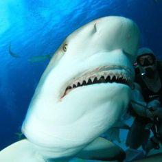 Shark Dive Stuarts Cove Bahamas-days away! Shark Diving, Sharks, Scuba Diving, Bahamas Pictures, Shark Bites, Weird Science, Orcas, Future Travel, Natural Wonders