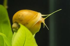 Mystery snails are one of the most popular additions to freshwater tanks. These slow moving, peaceful herbivores, let you to sit back whilst they do some of the cleaning for you. Most people will buy Aquarium Snails, Aquarium Fish, Apple Snail, Pet Snails, Aquarium Maintenance, Snail Shell, Carnivorous Plants, Aquatic Plants, Plant Species