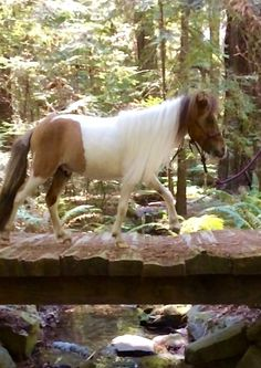 "Breed: miniature horse, name:Arushi, age: 2 years, color: buckskin paint size: 34"", gender: stallion"