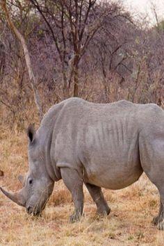 Sumatran Rhino Declared EXTINCT In The Wild In Malaysia – Less Than 109 Left Worldwide #sumatran #rhino #wild #animals Nature Animals, Zoo Animals, Animals And Pets, Funny Animals, Cute Animals, Wild Animals, Sumatran Rhino, Rhinoceros, Animals With Antlers