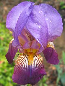 Purple-Iris pn.jpg