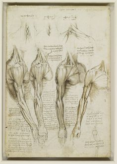 Leonardo da Vinci drawings: studies of the muscles of the neck, shoulder, chest, arm Arm Anatomy, Anatomy Study, Anatomy Drawing, Anatomy Art, Anatomy Reference, Human Anatomy, Anatomy Sketches, Human Muscle Anatomy, Body Sketches