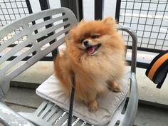 Pomeranian, Nutter Butter I'm fluffy & sassy!