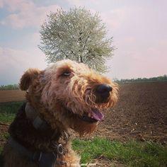 Let's enjoy this Monday and start it with a smile!  #smilingdog #happydog #happydogs #dogfriends #dogfriend #dogsarejoy #dogsarelove #mondaymotivation #dogmotivation #springishere #airedale #airedalesofinstagram #dontworrybehappy