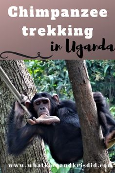 Our experiences of Chimpanzee trekking in Uganda in Kibale National Park as well as birdwatching in Bigodi Swamp and Kihingami Wetlands and other things to do in Fort Portal Travel Travel Travel Trip # Uganda Travel, Africa Travel, Travel List, Travel Advice, Travel Ideas, Travel Info, Honduras, Bolivia, Jamaica