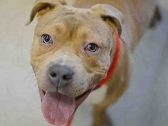 Manhattan Center PIMIENTO – A1033070 MALE, TAN / WHITE, AMER BULLDOG / AMERICAN STAFF, 9 mos STRAY – STRAY WAIT, NO HOLD Reason STRAY Intake condition UNSPECIFIE Intake Date 04/13/2015