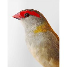 Red-browed Finch by Leila Jeffreys.