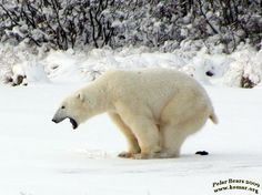 If a polar bear craps in the great white north, does it still make a crazy-ass face?