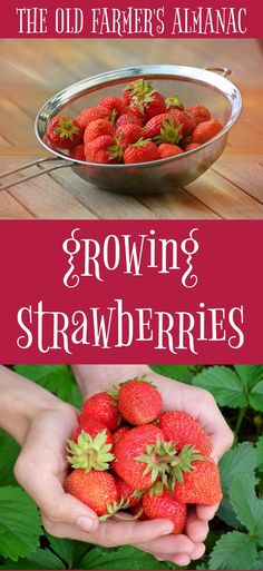 Growing Strawberries and Strawberry Varietiess--all from The Old Farmer's Almanac at Almanac.com!
