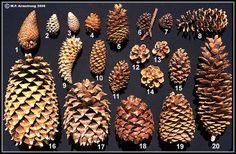know your pine cones!