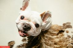 french bulldog by Kira Stackhouse