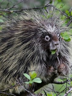 ~~North American Porcupine   the Animal Kingdom's answer to hipster foodies. Apparently, going for the tasty leaves nearby isn't good enough for the porcupine. Instead, they go out on a limb (pun absolutely intended) for the furthest leaves on trees, often losing their balance and falling to the ground   Joan Saba / NWF.org~~