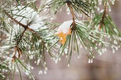 Winter Begins ... Photograph by Svetlana Iso Winter begins ... by Svetlana Iso.  Autumn yellow maple leaf stuck on a pine-tree branch under first freezing rain #SvetlanaIso  #SvetlanaIsoFineArtPhotography #Photography #ArtForHome  #InteriorDesign #FineArtPrints #Seasons #Winter #Autumn #Weather