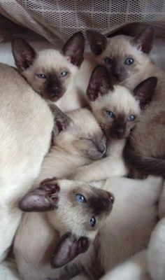 I found this on Pinterest. It looks very familiar. I miss having a houseful of Siamese babies