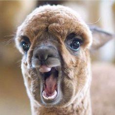 Inspirational Alpaca on March 18 can find Llamas and more on our website.Inspirational Alpaca on March 18 2020 Alpacas, Cute Little Animals, Cute Funny Animals, Cabras Animal, Animal Humor, Animal Quotes, Alpaca Pictures, Cute Alpaca, Alpaca Funny