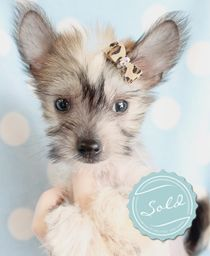 Chinese Crested Puppies For Sale in South Florida