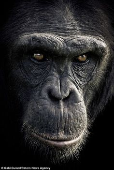 Complex character: This chimpanzee gives a long and lingering gaze # Nature animals Primate poseurs: Stunning images show the many human-like expressions of chimpanzees The Animals, Black Animals, Animal Faces, Nature Animals, Funny Animals, Amazing Animals, Animals Beautiful, Regard Animal, Los Primates