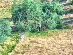 The oak tree that in
