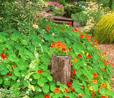Nasturtiums, cornflower and other colorful annuals reliably self-sow for a repeat performance year after year.