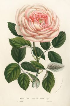 Pink Rose antique Botanical Art Prints Home Decor Wall Art Victorian art Garden Wall Art Vintage Victorian rose flower art print Vintage Botanical Prints, Botanical Drawings, Vintage Flower Prints, Botanical Flowers, Botanical Art, Art Floral, Impressions Botaniques, Illustration Botanique, Garden Wall Art