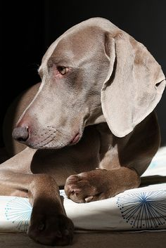 Weimaraner ~ sunbathing by dohlongma* Baby Dogs, Pet Dogs, Dogs And Puppies, Dog Cat, Doggies, Weiner Dogs, Beautiful Dogs, Animals Beautiful, Art And Illustration