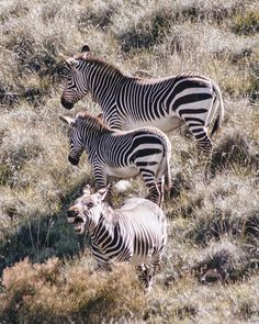 Same same but different, taken at Mountain Zebra National Park, South Africa Mountain Zebra, Africa Travel, South Africa, National Parks, Camping, City, Campsite, Cities, Campers