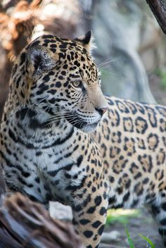 Jaguar by Solvent.Solution