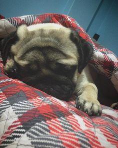 my pug, paşa