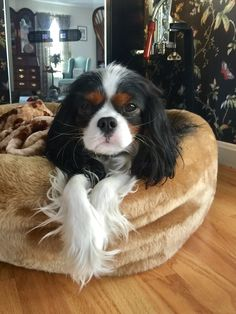 Things we all respect about the Fun Cavalier King Charles Spaniel Pup King Charles Puppy, Cavalier King Charles Dog, King Charles Spaniel, Puppies And Kitties, Cute Puppies, Lab Puppies, Cavalier King Spaniel, Cute Dog Pictures, Spaniel Puppies