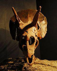 Triceratops czaszka