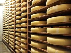 Comté cheese in the early ageing process at the Plasne Fruitière (cheese cooperative) above Poligny.