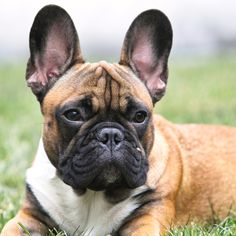 French Bulldog Puppy with Gorgeous and unusual color markings