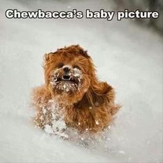 Chewbacca's baby picture - Lhasa Apso